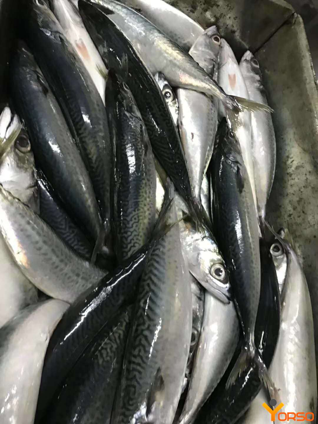 Mackerel carcass, 100-200, 95% net weight, BQF, 1/10