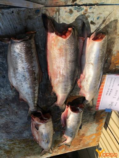 MSC Pink salmon H/G, collar bone off, 1 st grade, Ocean run
