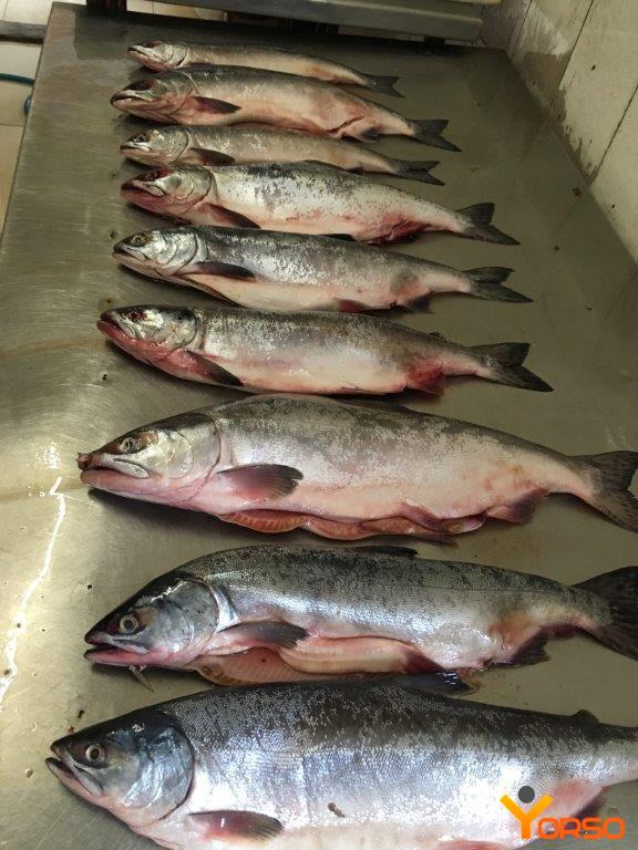 Pink salmon, frozen, 0,8-1,5, gutted, 1/22