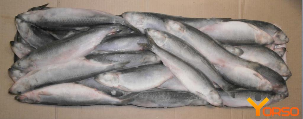 Herring t/o, HP, 24+