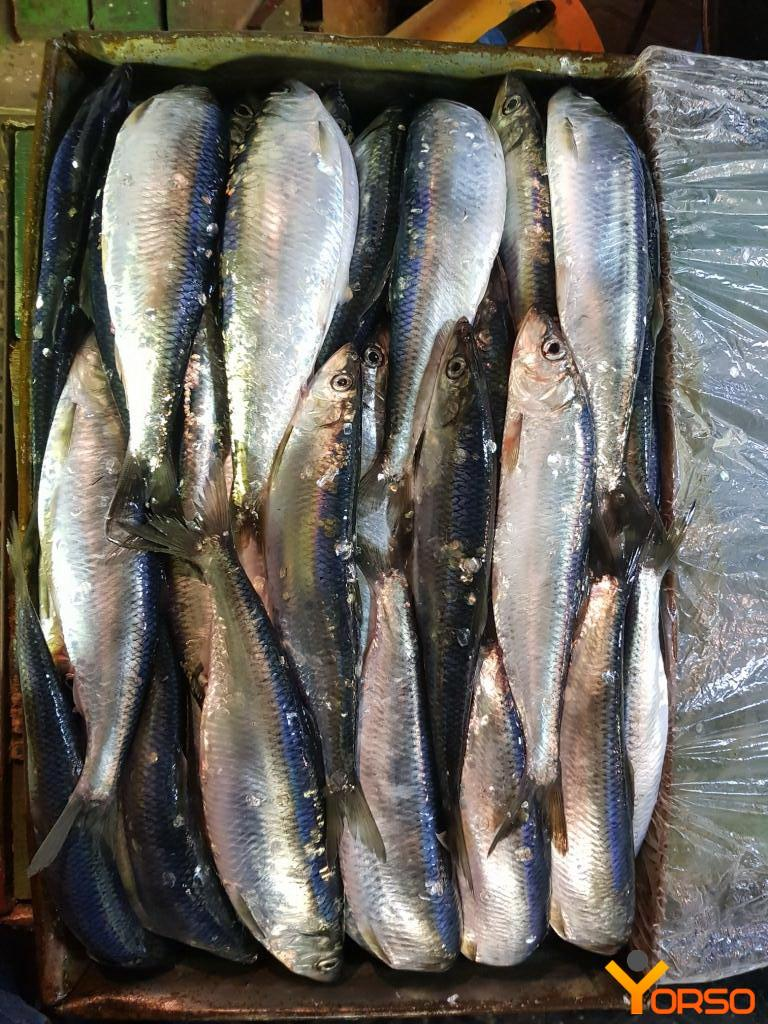 Herring t/o, HP, 25+